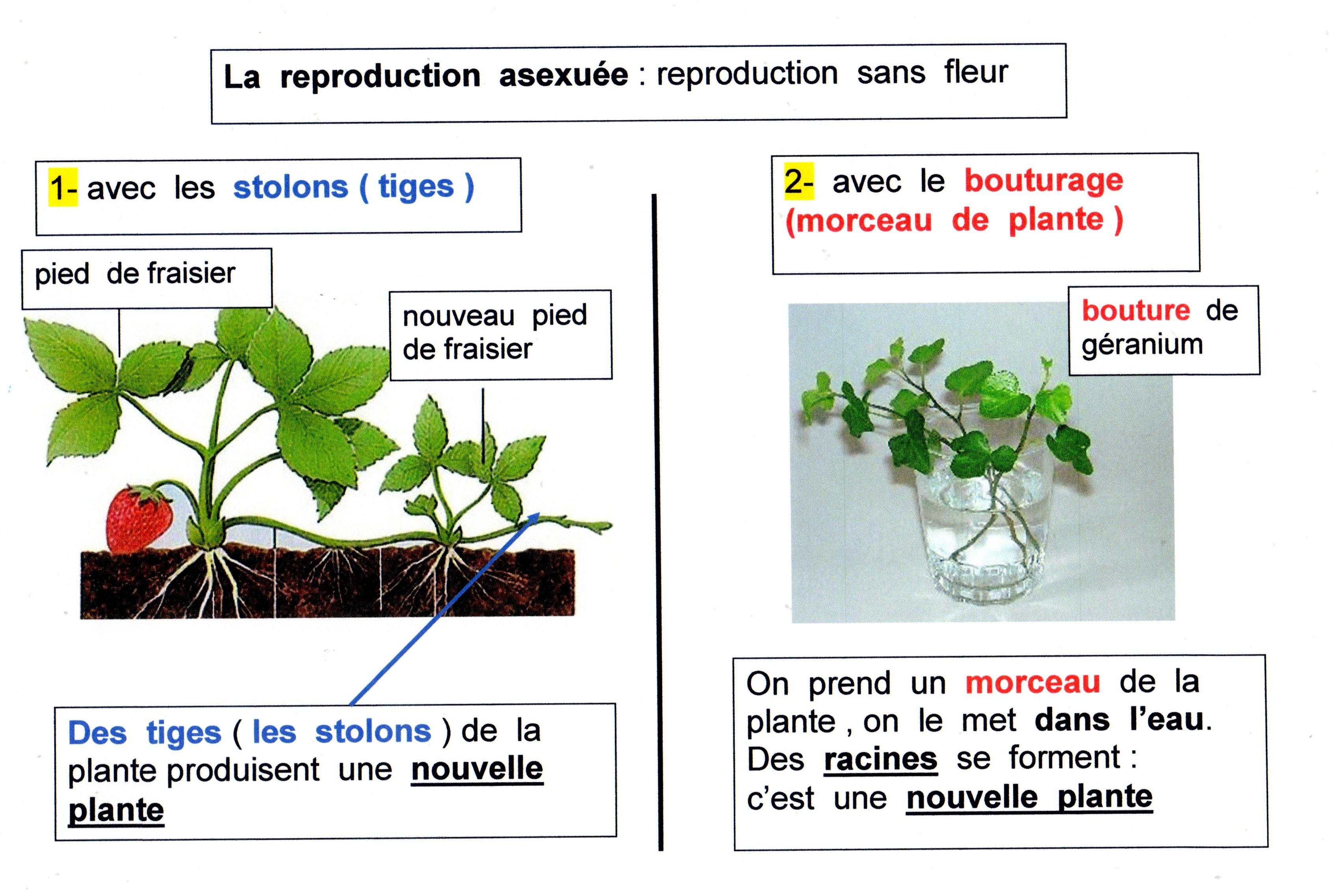 Exemple De Reproduction Asexuée Chez Les Vegetaux - Le ...